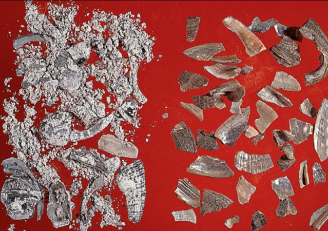 左:石決明片;右:煅燒過的石決明。(張賢哲教授《道地藥材圖鑑》提供)